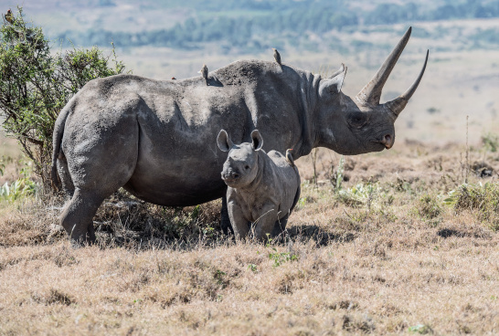 black rhinos, Lewa Conservancy, Kenya