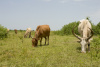 Cattle grazing, South Sudan