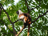 cotton-top tamarins, Colombia, forests, endangered, deforestation