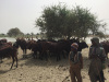 farmer herder conflict, Nigeria, Fulani, Hausa, climate security
