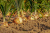 Onions, crop, farm, soil, agriculture, vegetable