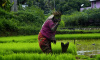 Woman in paddy field, Kerala, rice